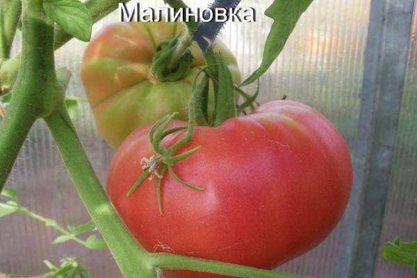 "Томат ""малиновка"": характеристика и описание сорта, фото, отзывы"