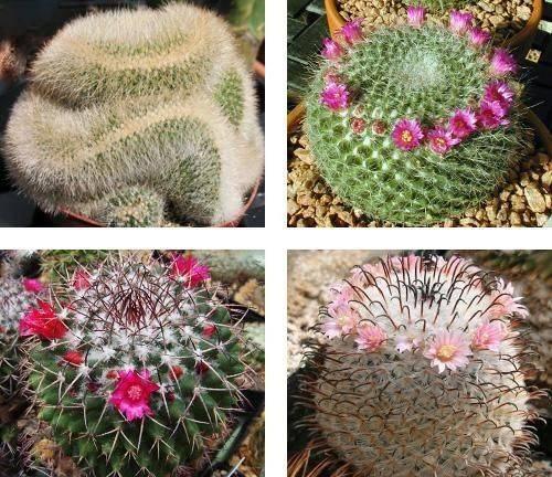 Кактус маммилярия: фото, как правильно ухаживать за цветком в домашних условиях, описание видов