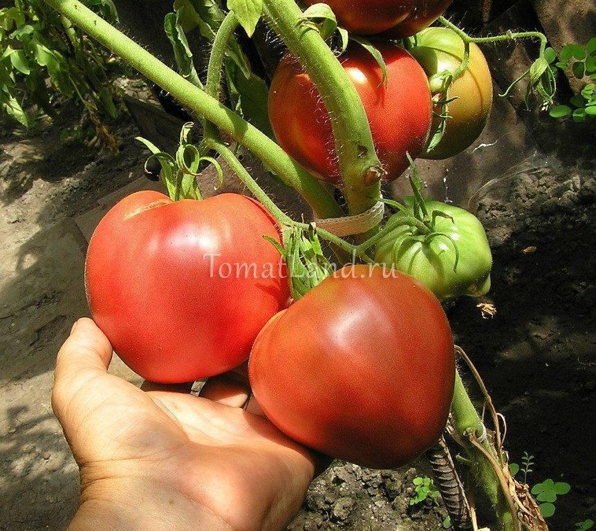 Томатный сорт Мазарини — характеристика и правила выращивания
