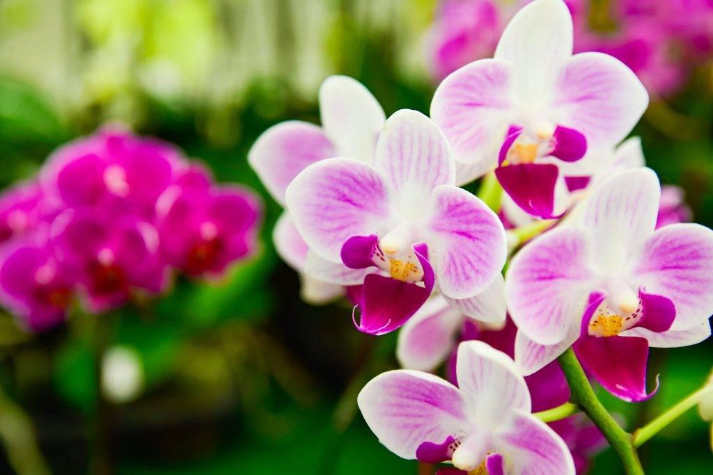 Родина орхидеи фаленопсис