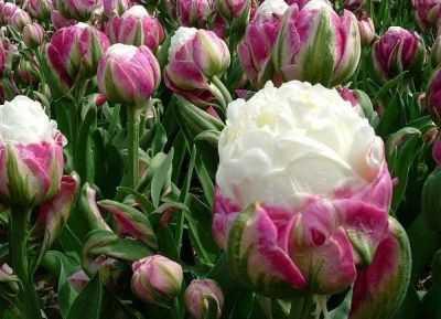 Тюльпаны пломбир фото - дневник садовода rest-dvor.ru