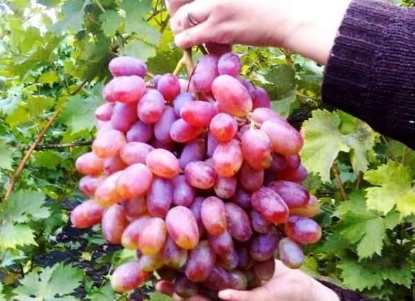 Виноград ризамат: описание, видео, секреты выращивания, фото