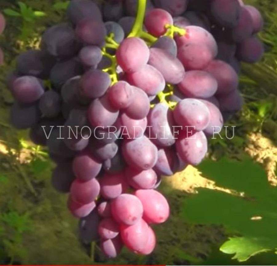 """Виноград """"каталония"""": фото и описание"""