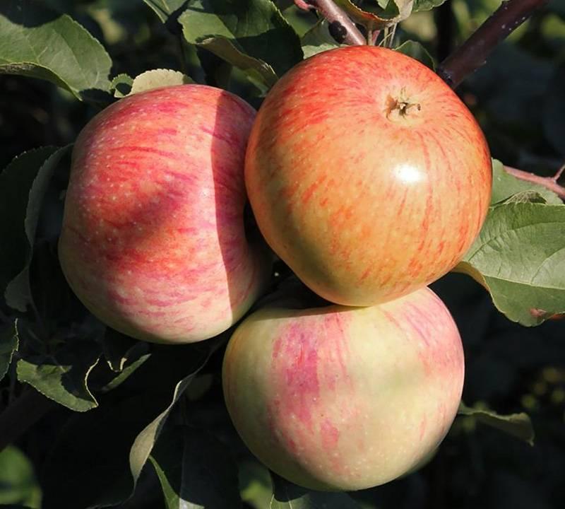 Белорусские сорта яблонь: летние, зимние, осенние, поздние, карликовые