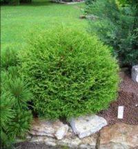 О туе tiny tim: описание сорта, как посадить и ухаживать за растением