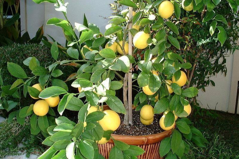 Гибриды цитрусов: сорта с описаниями, выращивание дома