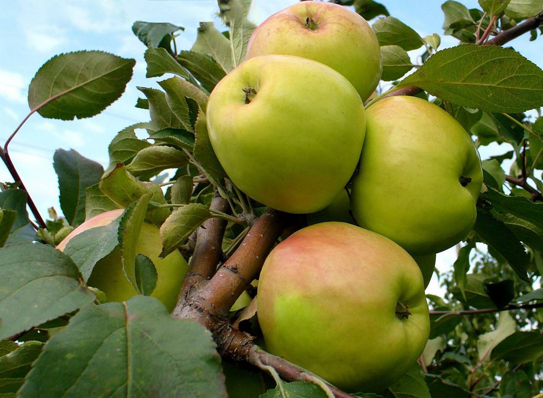 Яблоня «чудное»: характеристика, агротехника выращивания