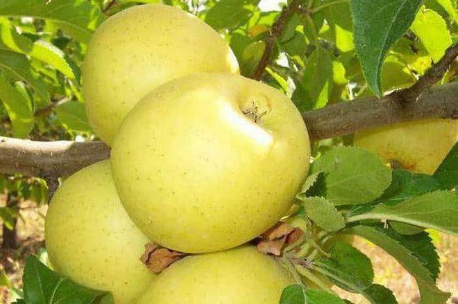 Яблоня аркадик: описание и характеристика, выращивание и уход