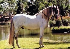 Андалузская лошадь: описание породы, разведение