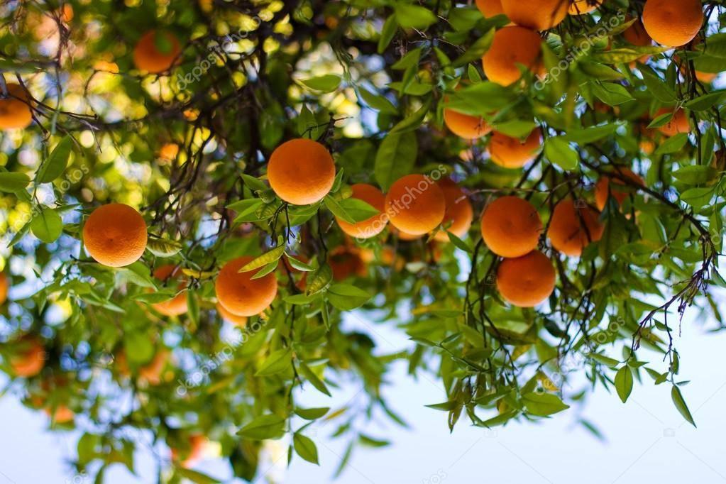 Как растут апельсины