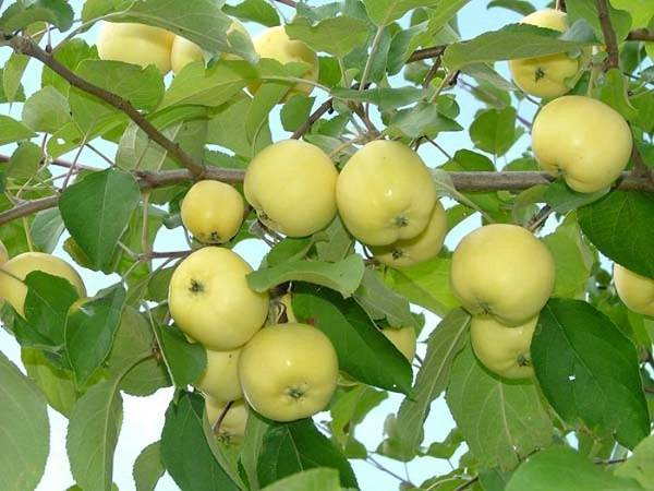 Сорт яблони аркад сахарный – описание, фото