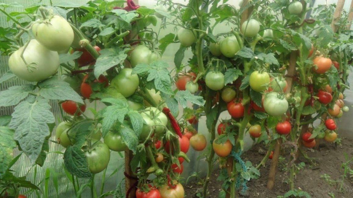 15 секретов хорошего урожая помидор: в теплице и в огороде