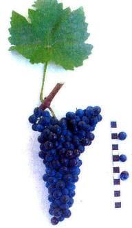 Виноград черный жемчуг: описание сорта, фото, отзывы — selok.info