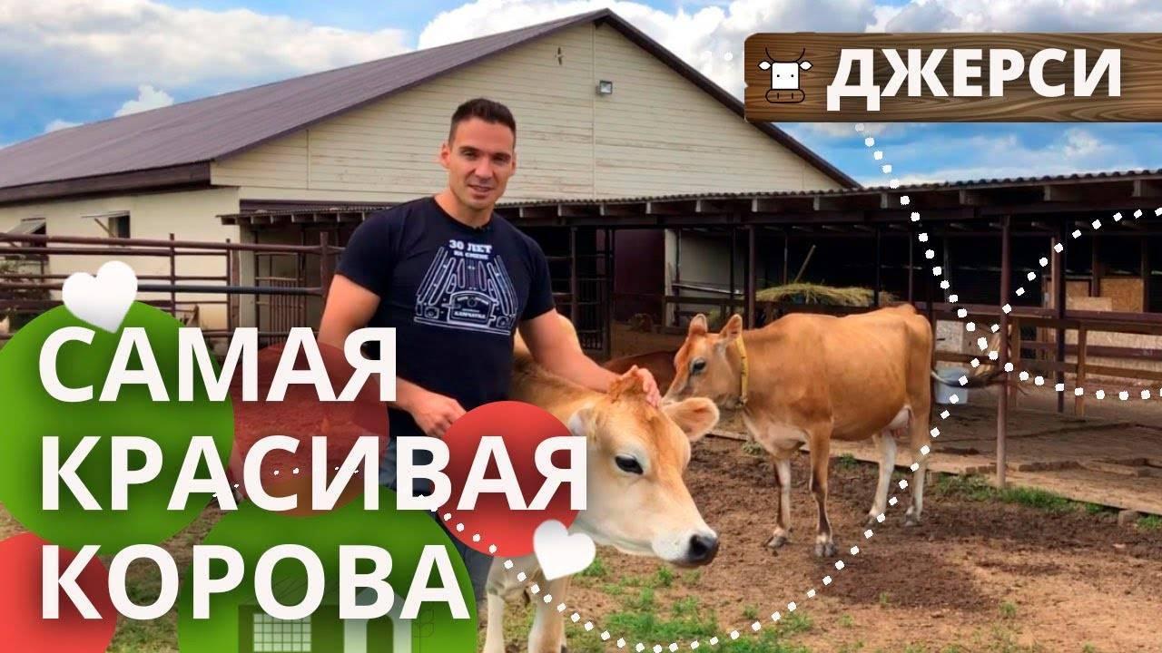 Корова   содержание коровы   кормление коровы и разведение коровы