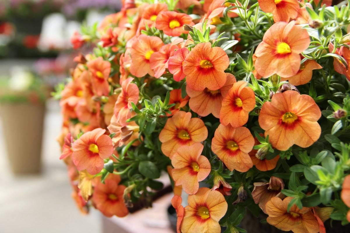 Как прищипывать петунию правильно для обильного цветения