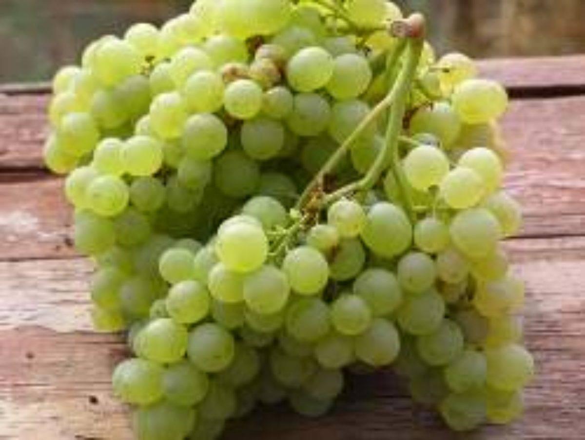 Виноград русбол описание сорта фото отзывы видео