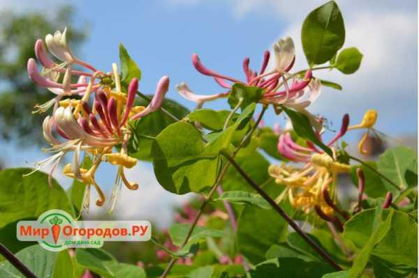 Жимолость декоративная вьющаяся посадка и уход, выращивание и размножение сорта, болезни и подкормка + фото