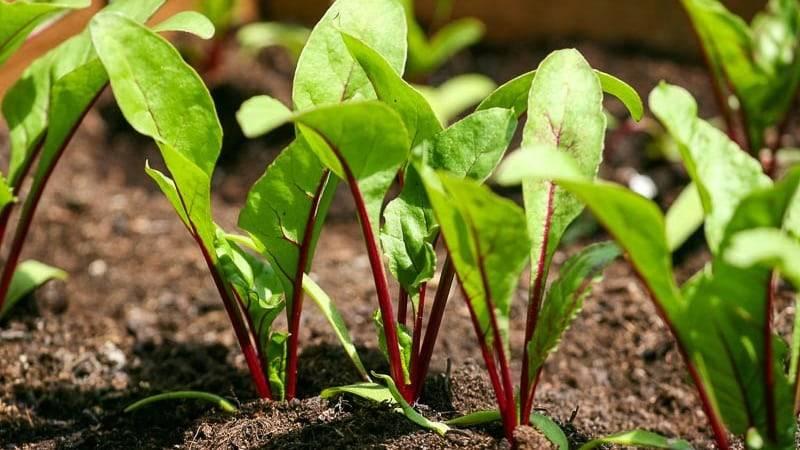 Свекла: выращивание и уход в открытом грунте что бы был хороший урожай