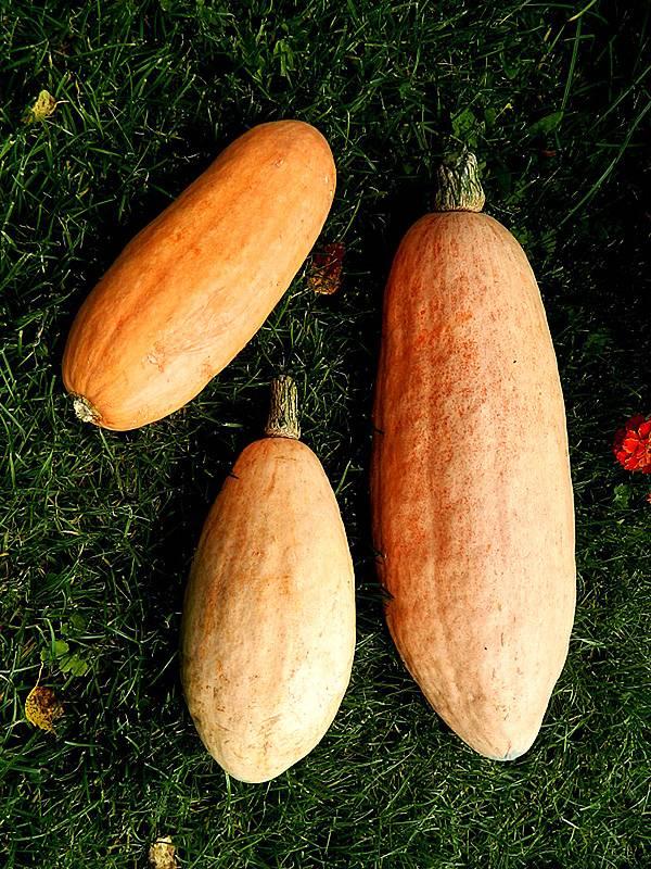 Выращивание тыквы пастила-шампань - агрономы