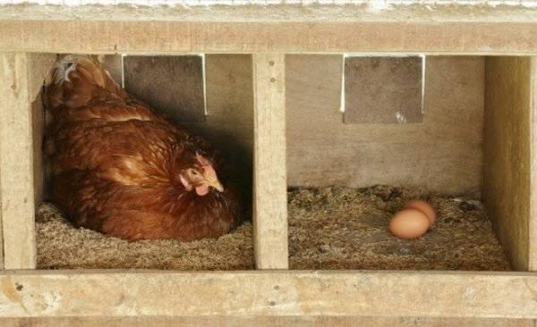 Кормление кур для увеличения яйценоскости несушек