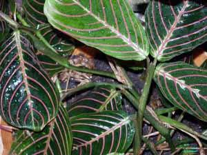 Комнатный цветок маранта: как ухаживать за растением, фото и названия видов