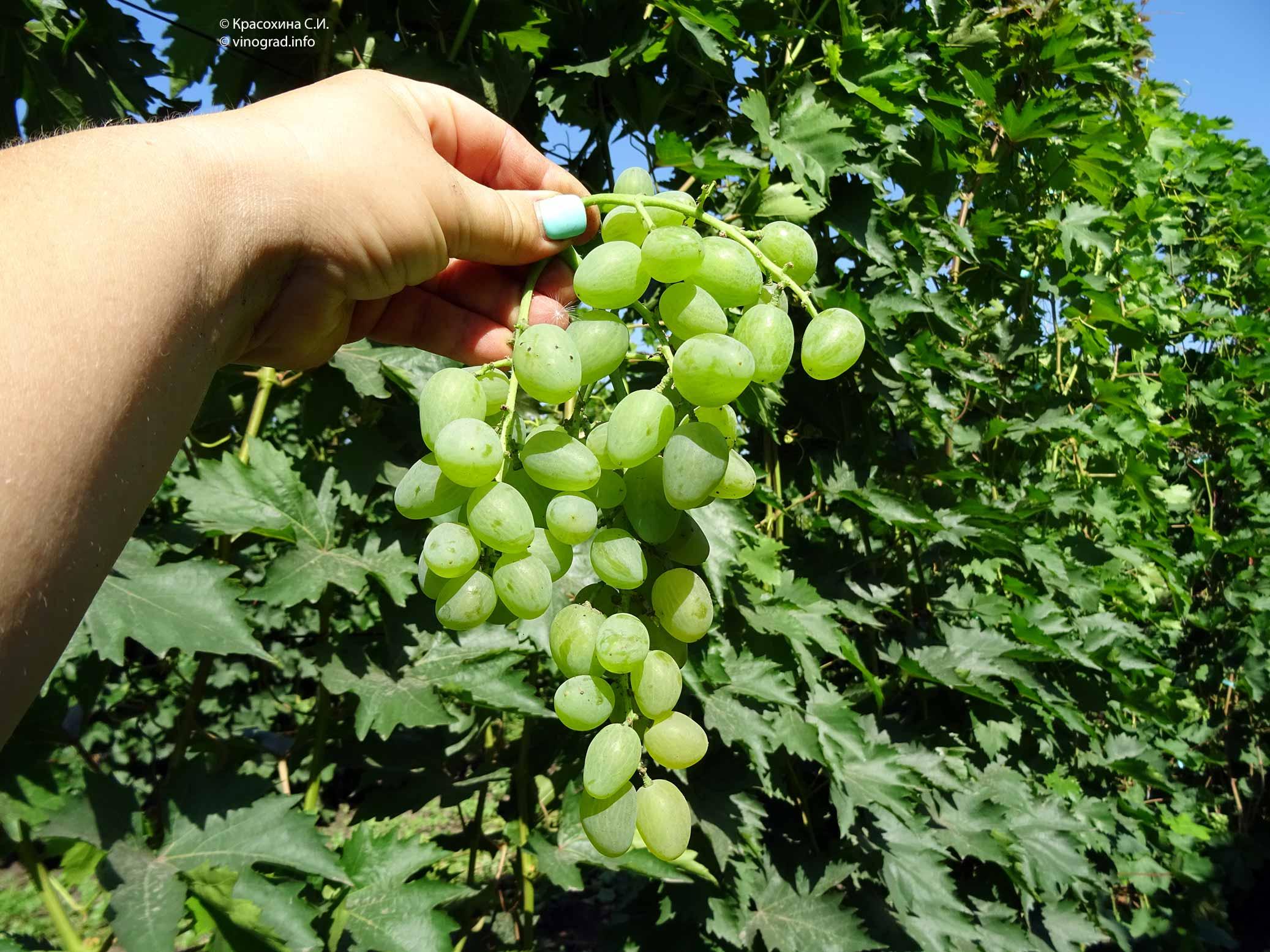 Описание и характеристики сорта винограда элегант, история и тонкости выращивания