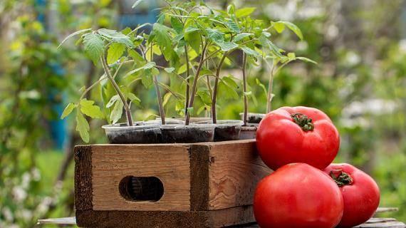 Лучшие сорта томатов на 2021 год для теплиц в подмосковье: советы по выбору помидоров, особенности выращивания, наименования и описания сортов