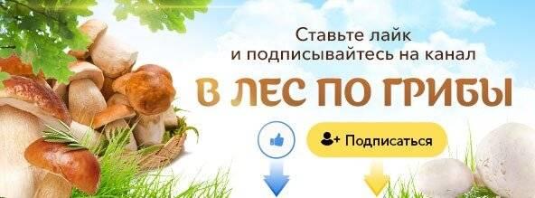 Гриб поддубовик: описание, свойства, применение :: syl.ru