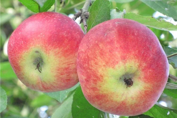 Яблоня грушовка московская, ранняя, зимняя: описание сорта, посадка, фото, отзывы