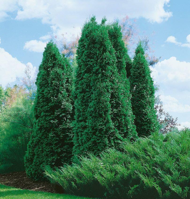 Туя западная «колумна» (26 фото): описание колоновидного сорта, посадка семян и правила ухода, скорость роста и применение в ландшафтном дизайне