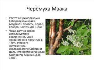 Черемуха (padus): выращивание, посадка, уход, сорта, полезные свойства