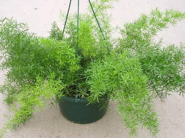 Аспарагус - фото комнатного цветка, уход в домашних условиях, виды растений, размножение