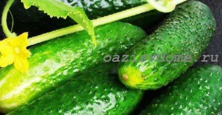 Огурец зятек f1: описание, отзывы, характеристика и урожайность сорта + фото
