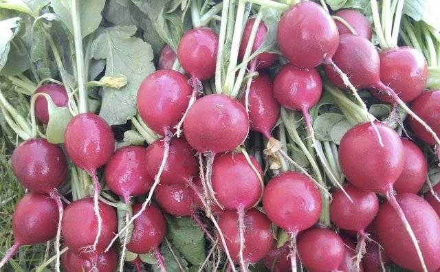 Редис селеста f1: описание сорта, выращивание, отзывы