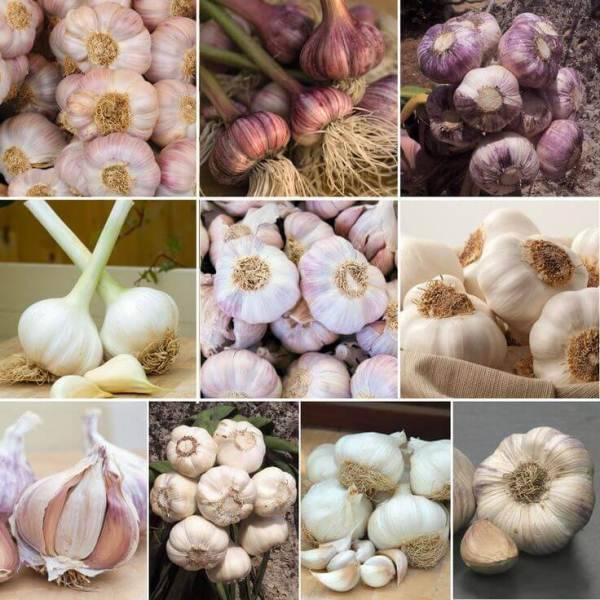 6 самых лучших сортов ярового чеснока. рекомендации по выращиванию и уходу, фото овоща