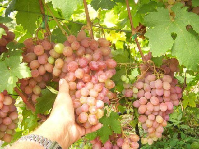 ✅ виноград румба описание сорта фото отзывы видео. виноград румба: особенности сорта и условия для выращивания - живой-сад.рф