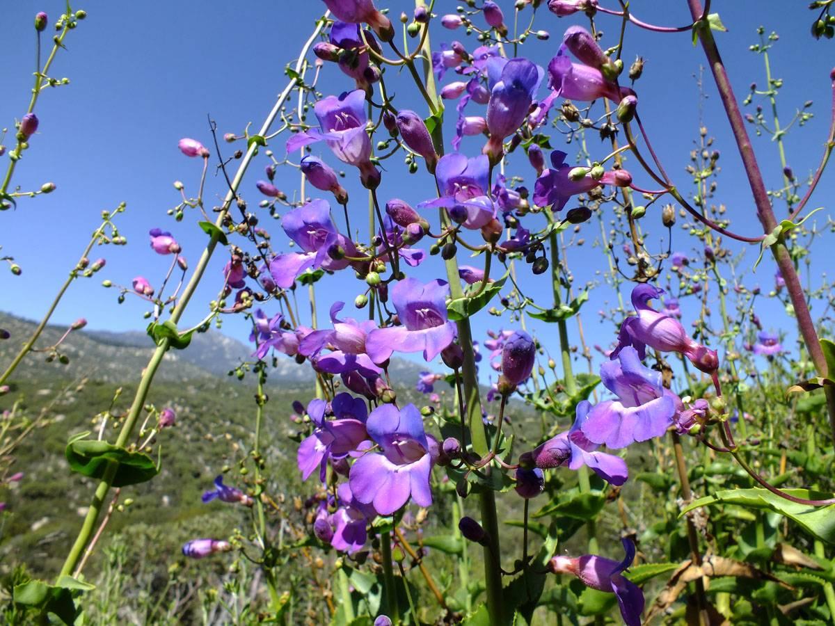 Пенстемон: виды с фото, выращивание из семян, посадка и уход