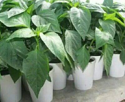 Какое понижение температуры выдерживают томаты | огородовед