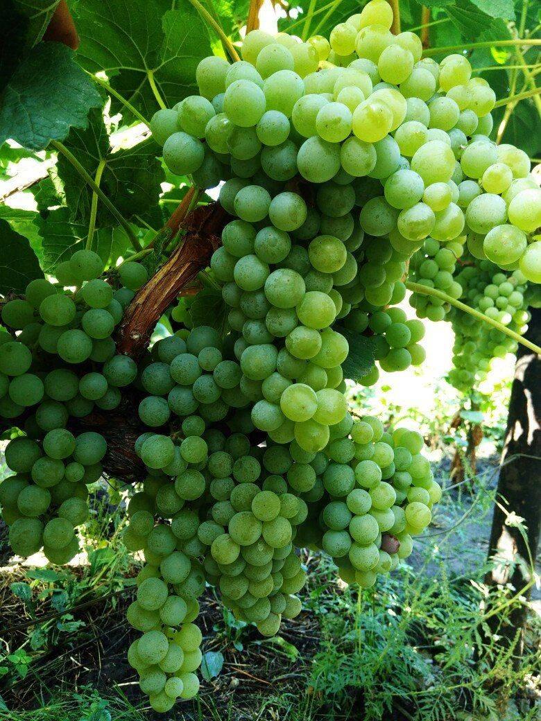 Виноград аксайский кишмиш: описание сорта, фото и отзывы садоводов