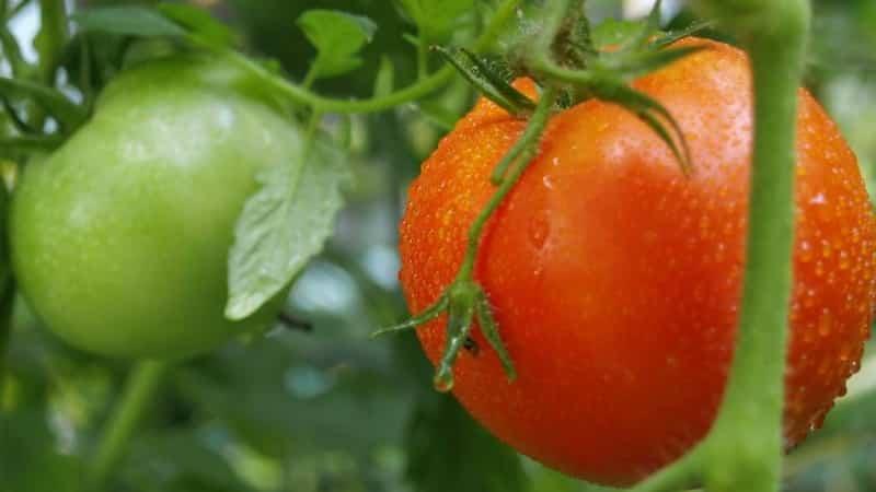 Томат жонглер: отзывы, фото, урожайность, описание и характеристика | tomatland.ru