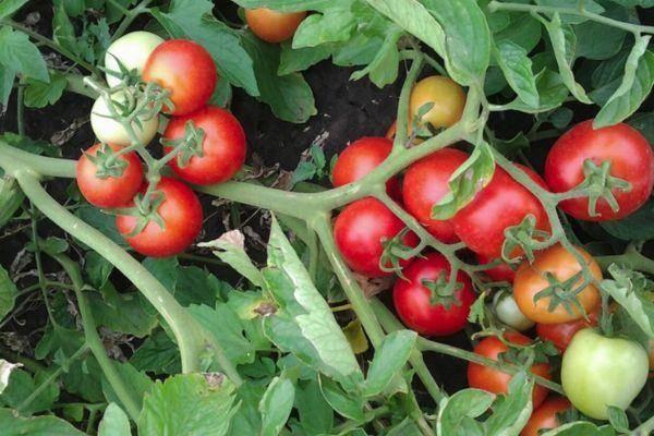 Отличный столовый новый сорт томата «сливка бендрика», описание, рекомендации по уходу