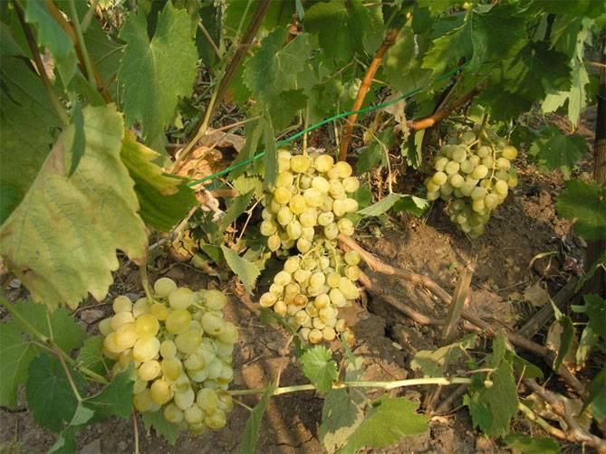 Описание сорта винограда «восторг» с фото и видео