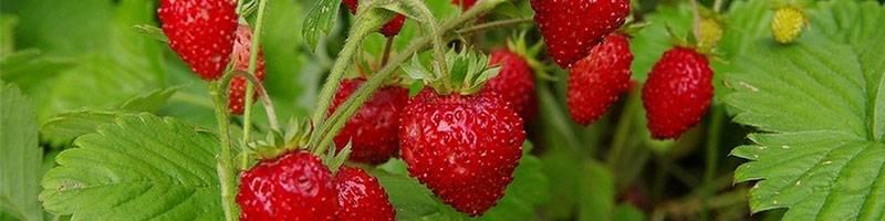 Какой способ выращивания рассады клубники оптимальный: семена или усы, что выбрать?