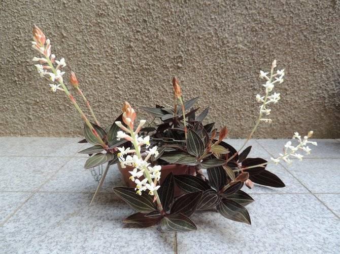 Драгоценная орхидея лудизия уход в домашних условиях