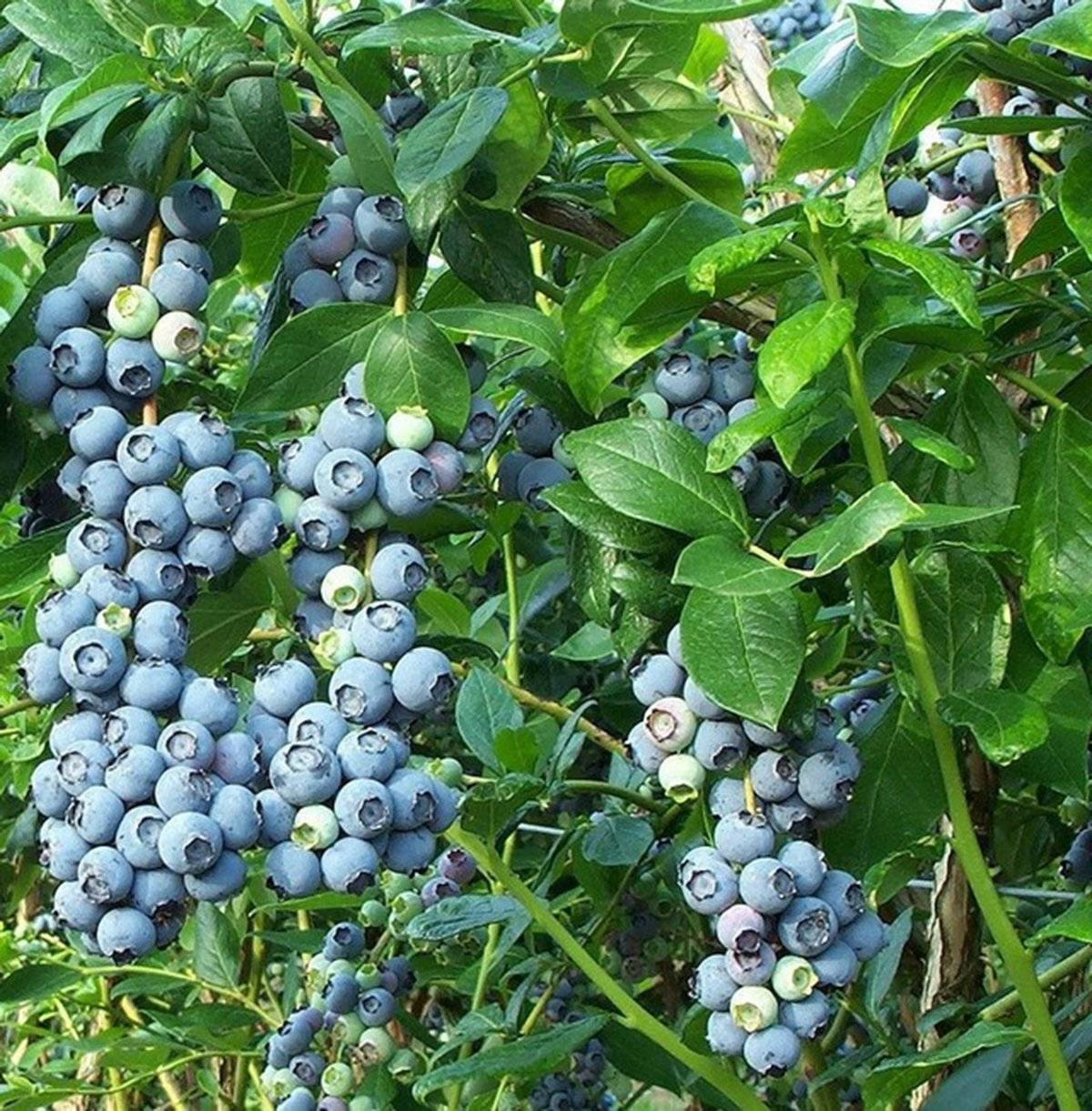 Садовая голубика — лесное чудо. уход, выращивание, размножение. плодово-ягодные. фото — ботаничка.ru