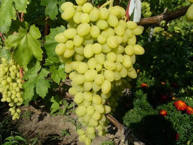 Виноград зарница: описание сорта с характеристикой и отзывами, особенности посадки и выращивания, фото
