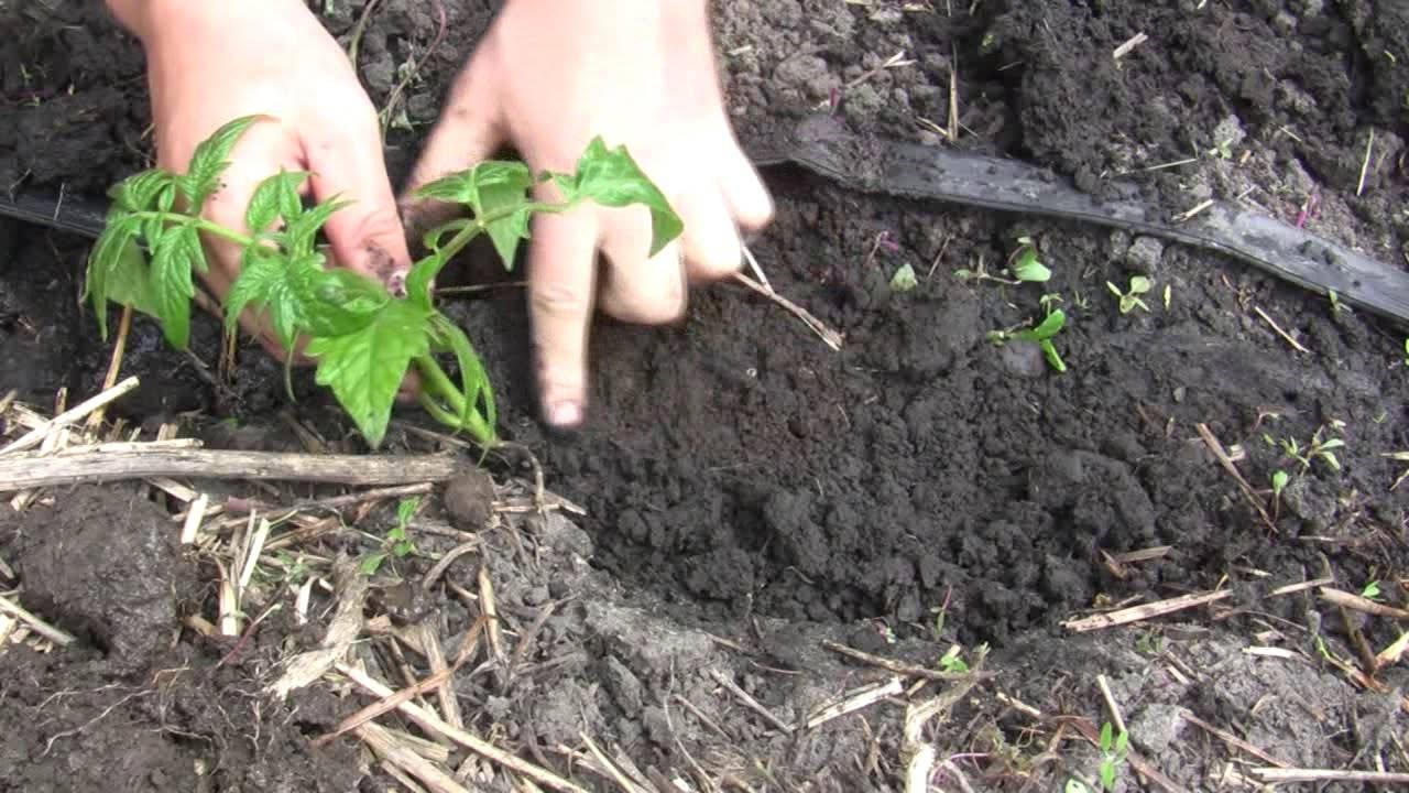 Глубина посадки семян томатов на рассаду