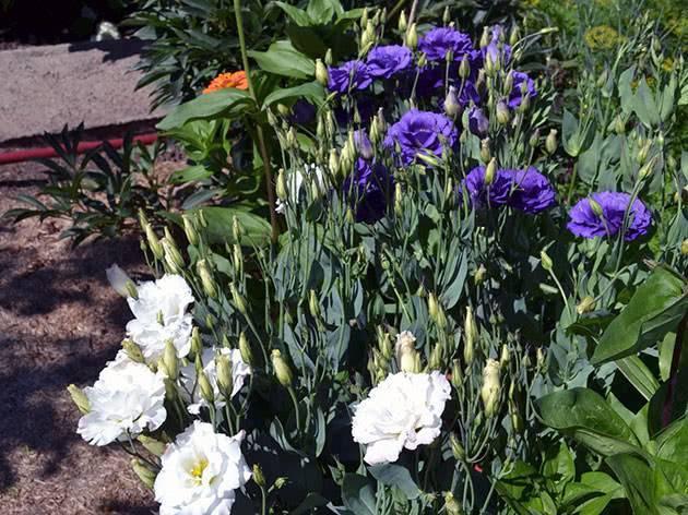 Эустома (лизиантус): выращивание из семян, посадка и уход в домашних условиях