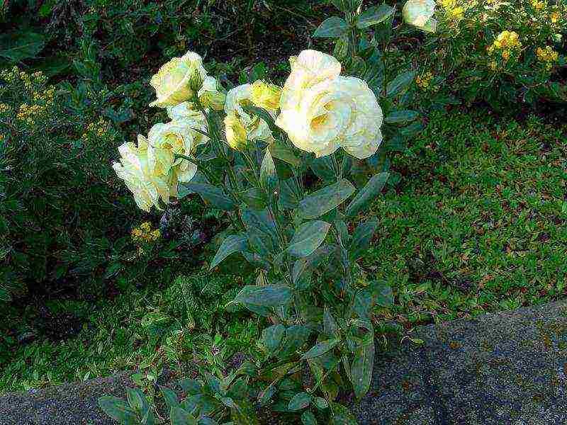 Эустома – посадка и уход в домашних условиях и в отрытом грунте, выращивание эустомы из семян рассадой | мир садоводства