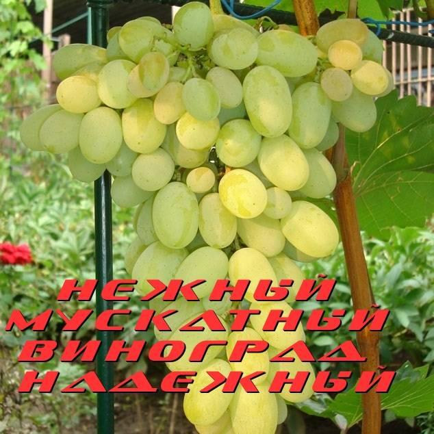 Винограда сорт зарница